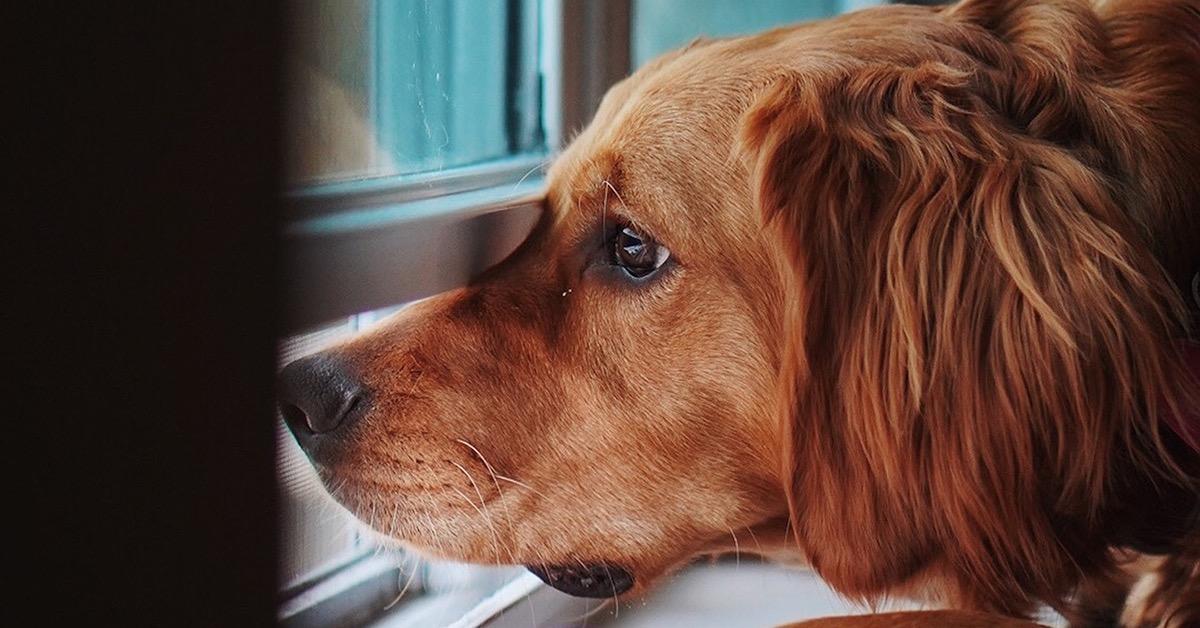 Koira katsoo ulos ikkunasta